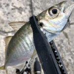 【ライトゲーム】アジング・メバリングで釣れる「外道」&「珍魚」12種まとめ【釣り】