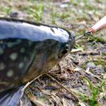 【レシピ】必見!管理釣り場で釣った「マス」の美味しい食べ方は?重要な下処理も大公開